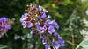 purple flower (vdara's photography) Tags: canon virág ixus130