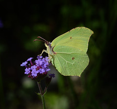 Brimstone butterfly (Pitheadgear) Tags: nature gardens butterfly garden insect wildlife butterflies insects naturalhistory lepidoptera brimstone brimstonebutterfly