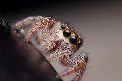 Jumper on a Lamp (#2) [Explore 2015-09-16] (Doundounba) Tags: usa macro spider vermont cornwall pentax middlebury jumpingspider araignée k3 salticidae salticide pentaxm135mmf35 pentaxm2850mmf3545 coupledreverselens 35ormorefaves