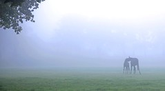mother and child in a world of their own (HansHolt) Tags: morning autumn horse mist fall fog mare child herfst mother meadow kind pasture morgen smallworld weiland ochtend paard foal merrie veulen canonef24105mmf4lisusm kleinewereld canoneos6d