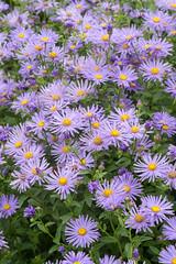 Aster × frikartii 'Wunder von Stäfa' (Alan Buckingham) Tags: summer flower sissinghurst purple perennial hardy michaelmasdaisy aster×frikartiiwundervonstäfa