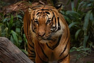 10-28-2015-SD-Tiger - (Explored)