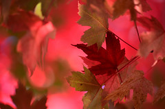 Catch me if I fall (James_D_Images) Tags: pink autumn red fallleaves green fall leaves maple bokeh idaho fallfoliage caught fallcolour mullan