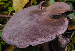 Large Purple Cap! ('cosmicgirl1960' NEW CANON CAMERA) Tags: autumn nature mushrooms fungi devon fungus mycology yabbadabbadoo chudleighknighton
