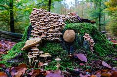 DSC_1807_1 (Fred van Bergeijk) Tags: trees mushroom forest mos bomen bos paddestoel bladeren