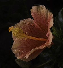 Orange Hibiscus Flower With Rain Drops (Bill Gracey) Tags: orange flower color macro nature fleur drops colorful ambientlight flor lakeside hibiscus raindrops malvaceae naturalbeauty softbox macrolens macrophotography directionallight offcameraflash yongnuorf603n yn560iii