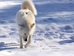 Grace is Everything (grisswife) Tags: snow pet dog malamute