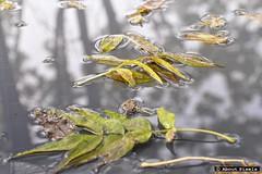 2015-10 Weerspiegeling van de herfst (Mechelen) (Meteo Hellevoetsluis) Tags: oktober water nederland natuur lan leafs regen mechelen limburg 1023 reflectie 2015 bladeren bewolking neerslag meteen collecties herfstseizoen mnd10