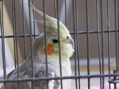 Catita (Joo Textor) Tags: bird pssaro caged cockatiel staring gaiola calopsita encarando engaiolado beautifulcockatiel