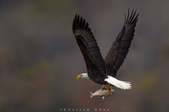Rear view (Khurram Khan...) Tags: wild nature ilovenature wildlife ngc baldeagle npc eagles wildlifephotography ilovewildlife iamnikon khurramk khurramkhan