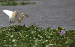 Heron with Fish (meredith_nutting) Tags: africa lake fish heron fishing rwanda marsh prey eastafrica easternafrica