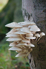 Unknown species of tree Fungi - Edinburgh, Scotland (trumbit) Tags: white tree green mushroom wet scotland woods flora edinburgh forrest wildlife fungi fungus damp spores