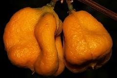 Sarcotoechia serrata (andreas lambrianides) Tags: tamarind australianflora australiannativeplants arfp australianrainforests australianrainforestplants sarcotoechiaserrata fernleavedtamarind qrfp arffs australianrainforestseeds orangearffs tropicalarf australianrainforestfruitsandseeds nativeferntree fernytamarind understoreyarfp apindaceae