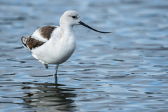 Close-up of an American Avocet (Recurvirostra americana) (Gordon Magee) Tags: bird cedarkey americanavocetrecurvirostraamericana