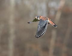 American Kestrel (Mary Sonis) Tags: bird flight falcon kestrel