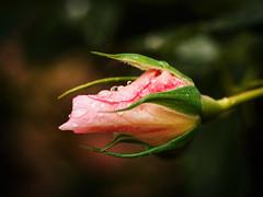 It's rainy day III (Petr Horak) Tags: rose bud water rain droplet drop nature garden pink