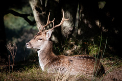 Male deer @ Waterleidingduinen (PaulHoo) Tags: nikon d300s nature amsterdamse waterleidingduinen sun deer wildlife illuminated peaceful animal holland netherlands 2016