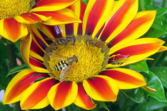 Dinner for three (Deida 1) Tags: hoverflies syrphusribesii episyrphusbalteatus flower gazania garden uk staffordshire