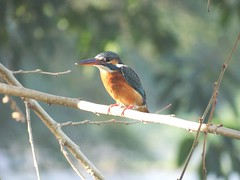 DSC00538 (phenixliu68) Tags: kingfisher  nature bird