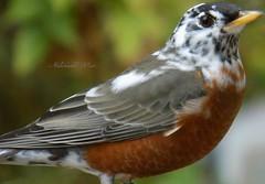 Robin bird (NaturewithMar) Tags: robin bird macro autumn leucism