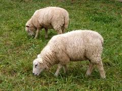 Miam, la bonne herbe ! (MAPNANCY) Tags: moutons prairie herbe laine