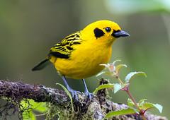 IMG_1075 Golden Tanager (suebmtl) Tags: ecuador mindo mindolindo pichinchaprovince goldentanager songbird yellow