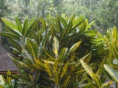 P9270108 (tonkonogov) Tags: indonesia bali ubud