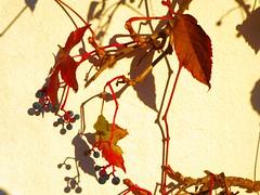 P1040039 Schatten / Shadows (Traud) Tags: germany deutschland bavaria bayern herbst autumn fall laub leaves bltter shadows schatten