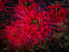 Spider Lily (rebeccalatsonphotography) Tags: red flower lily spiderlily canon rebeccalatsonphotography delicate bright