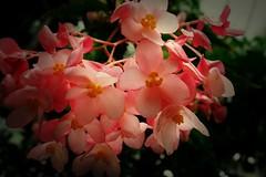 Rosa ??, 75220/7418 (roba66) Tags: blumen blume blten flower blossom roba66 fleur flori flor flora flores bloem plants pflanzen colores color colour coleur makro macro closeup farbe