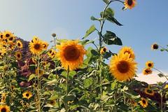 Sunflowers (Paige_Terhune) Tags: first comment follow like beautiful landscape earth life trees nature patch flower sun bee flowers sunflowers arizona az sliderock