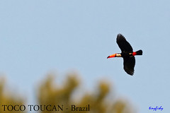 (Species# 881) TOCO TOUCAN - [ Itatiaia NP, Brazil ] (tinyfishy's World Birds-In-Flight (Gone to Africa)) Tags: ramphastos toco toucan brazil