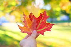"""""""Autumn shows us how beautiful it is to let things go.""""  ~anonymous~ (Sandra H-K) Tags: autumn autumnleaves hand holding bokeh bokehwednesday hbw bokehlicious colorful yellow green red orange october outside outdoors depthoffield dof sunshine sunny day daytime sunlight"""