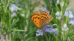 Purple-shot Copper (Female) - Lycaena alciphron (jaytee27) Tags: purpleshotcopper naturethroughthelens montenegro