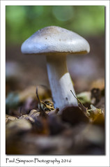 Growing through leaves (Paul Simpson Photography) Tags: mushroom mushrooms sonyphotography sonya77 naturalworld nature imageof imagesof paulsimpsonphotography photoof photosof plantlife fungi fungus fungal normanbypark leaves
