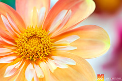 Dahlia-40 (Nualchemist) Tags: flower plant nature simplyflowers petals pink bloom green greenleaves floralphotography dahlia yellow red summer fullbloom botanical bright light floral heavenly macro orange 2016dahiashow colorful white closeup delightful glorious magical soft goldengatepark pretty palepink lightpink enchanting sanfrancisco singleflower cheerful joyful delight california colors palette botanicalgarden organicpattern purple lavender designbynature geometric elementsofdesign silky velvet softlight veil tender flame fire satin translucent