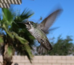 October 15, 2016 (2) (gaymay) Tags: california desert gay love happy riversidecounty coachellavalley hummingbird flying bird wings feathers palmsprings