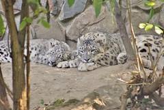 Snow leopards in Opole zoo (nesihonsu) Tags: pantera niena snow leopard felidae feline carnivora opole zoo animals mammals