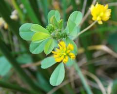 Lesser Trefoil - Trifolium dubium (SAMARA:) Tags: trifoliumdubium wildflower october glentrool scotland shamrock lessertrefoil