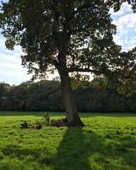 Oak Tree Shadow (Marc Sayce) Tags: old oak tree autumn 2016 alice holt lodge forest hampshire farnham surrey south downs national park wrecclesham bucks horn forestry commission research station gardens english
