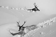 Incontri (Zz manipulation) Tags: natura animali cervi neve bianco scia corna