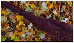 Tardor casolana (Jessur gustson) Tags: elsenyordelsbertins canon ixus310hs catalunya catalonia catalua espanya espaa spain barcelonaprovincia valles vallesoriental cinglesdeberti lavalldeltenes biguesiriells bigues canbarri tardor otoo autumn escombra escoba broom bruc brezo heath