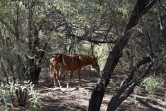 wild horse (jeffsmith565@yahoo) Tags: wildhorses wild horses wildlife arizona saltriver salt river fall outside trees desert