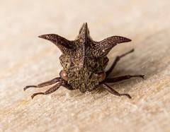 Acanthuchus-3 (CameraKayNZ) Tags: 2016 acanthuchus entomology hemiptera insect macro membracid trispinifer exif:focallength=50mm camera:make=sony exif:make=sony geostate exif:lens=50mmf28macro geocountry camera:model=slta65v geolocation geocity exif:isospeed=100 exif:aperture=10 exif:model=slta65v