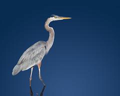Great Blue Heron (Patricia Ware) Tags: ardeaherodias california canon ef400mmf56lusm fullframe greatblueheron handheld playadelrey stichedphoto httppwarezenfoliocom 2014patriciawareallrightsreserved specanimal
