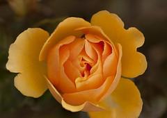 Yellow Rose (MalachyConey) Tags: rose macro tokina 100mm stacked photoshop d700 nireland flower