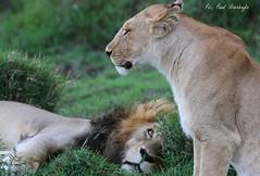 Watching. Masai Mara. (welloutafocus) Tags: lion africa kenya