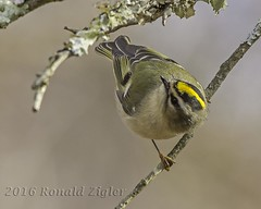 Golden-crowned Kinglet IMG_5766 (ronzigler) Tags: goldencrowned kinglet songbird bird birdwatcher nature avian sigma 150600mm canon 60d