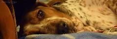 My Luna baby (Lszl Blint) Tags: animals indoor baby dog bassethound basset hound nikon d5300