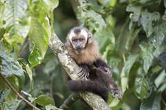 Peru (richard.mcmanus.) Tags: peru peruvianamazon manu nationalpark rainforest cloudforest monkey primate capucin mcmanus capucinmonkey gettyimages southamerica